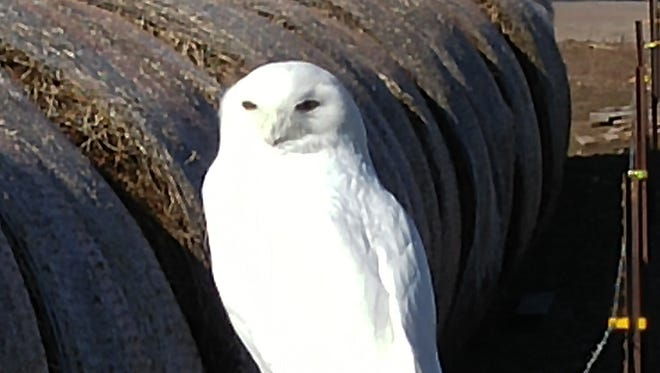 This snowy owl was spotted sitting on the fence post on Red River and Lincoln Townline Road. These birds prefer open areas such as farmland, beaches and break walls.