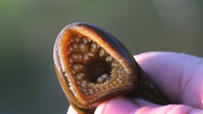 The mouth of a sea lamprey held by research ecologist Nick Johnson on the banks of the Little Manistee River, Monday, May 11, 2009.SUSAN TUSA/Detroit Free Press