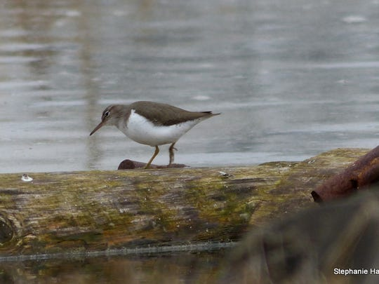 A spotted sandpiper at Talking Water Gardens.