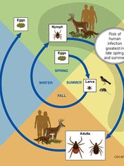 This diagram shows the life cycle of blacklegged ticks that can transmit anaplasmosis, babesiosis and Lyme disease.