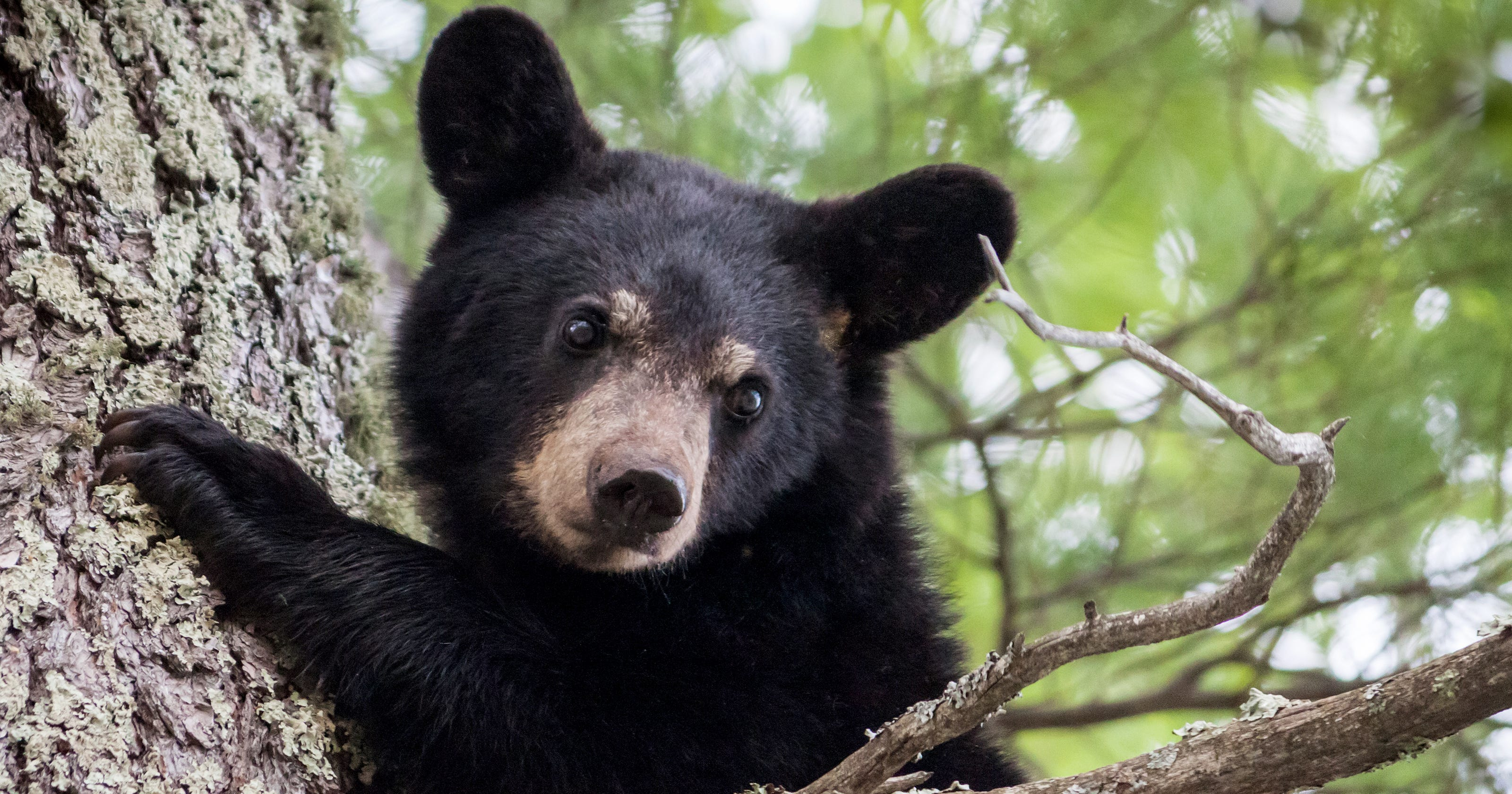 Southern Tier Black Bear Population Booming