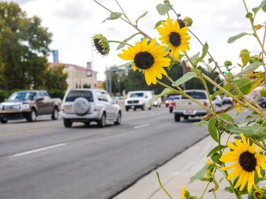 Sunflowers  bloom along East University Avenue near the corner  of Chaparral Street.