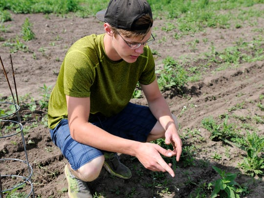 Alex Bertsch explains his trial and error processes of keeping weeds out of his organic farm on Friday, June 17, 2016, near Milaca.