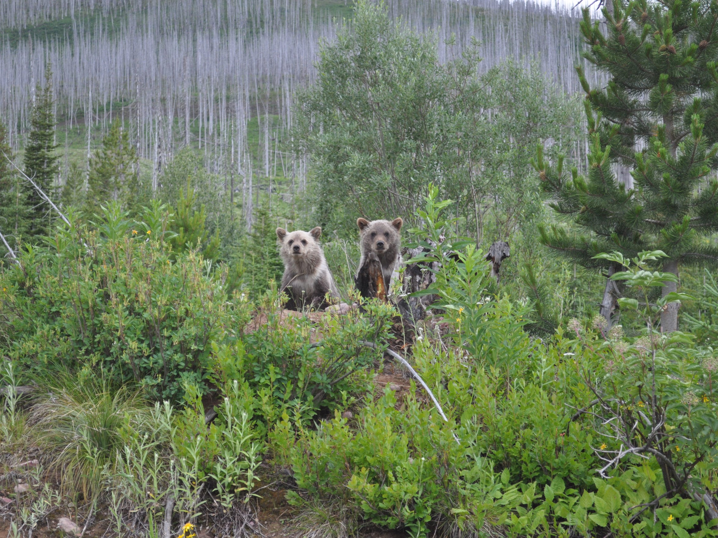 Two grizzly cubs near Skyland Creek near Essex in 2011.