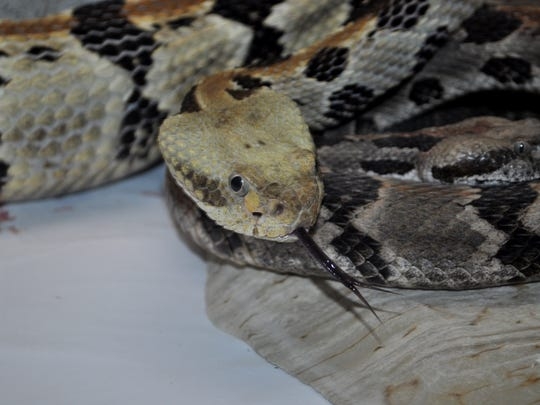 A timber rattlesnake, Missouri's largest venomous snake.