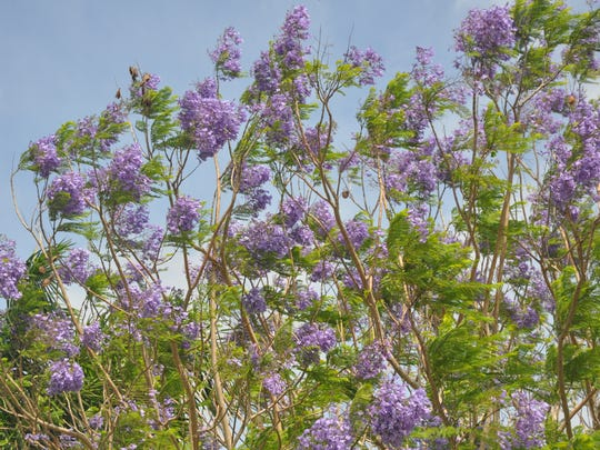 The Blue Jacaranda Tree is in full bloom with its shower of lavender flowers. This one is in Bonita Shores.