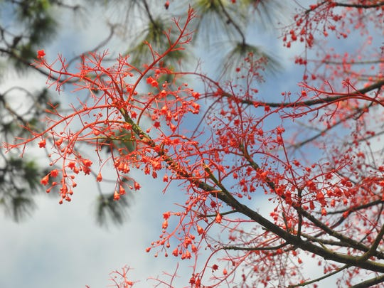 Flowering Trees Bloom With Vibrant Colors In Southwest Florida