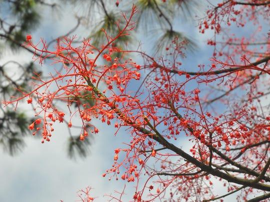 The IIIawarra flame tree is now blooming along US 41.