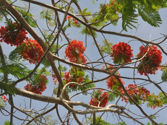 Poincianas are blooming all over Southwest Florida now. June is the peak of its colors.