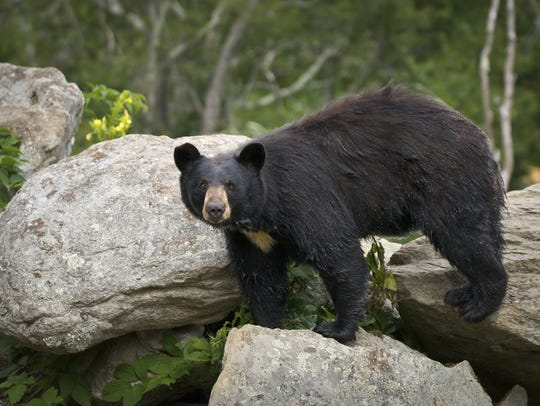 Finding the places where black bears and other wildlife will naturally cross highways is key to investing the time and money into building wildlife corridors, officials say.