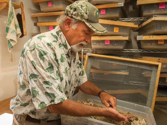 In this July 11, 2017 photo, Ken Hansen, owner of Kodiak Bones & Bugs Taxidermy, stirs through the bedding mixture in a tray containing hundreds of the flesh-eating beetles to expose the beetles and larva he uses to clean the flesh from animal skulls in his workshop near Lyle, Wash. The beetles are used to clean skulls and bones for display or research without boiling, which destroys much of the fine detail of the skull. (Mark B. Gibson/The Dalles Chronicle via AP)
