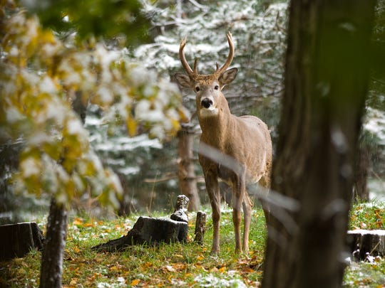 In the 1800s, white-tailed deer were nearing the brink of extinction. Thanks to careful wildlife management practices and hunting regulations, the species has since rebounded and continues to be carefully managed.