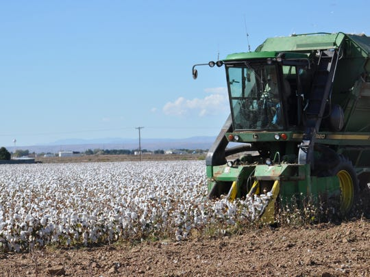 Cotton is harvested in a field south of Carlsbad, New
