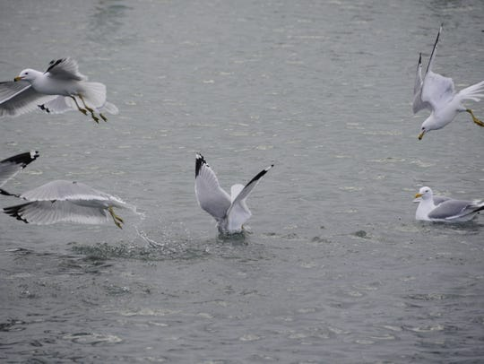 A gull dives into a school of emerald shiners at the
