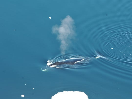 A bowhead whale surfaces in Fram Strait, to the northwest of Norway. Scientists found these whales sing a variety of songs all winter long. Photo courtesy of the University of Washington.