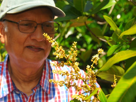 The Brevard Tropical Fruit Club will be holding its annual tree sale on Saturday, April 28th, held each year in the field next to the Melbourne Auditorium on Hibiscus. Asit Ghosh has turned his Rockledge yard into a fruit tree paradise.