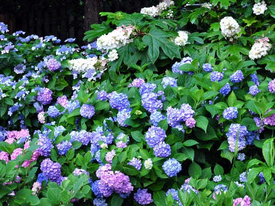 Improper pruning or a late spring freeze are two reasons hydrangeas might not bloom.