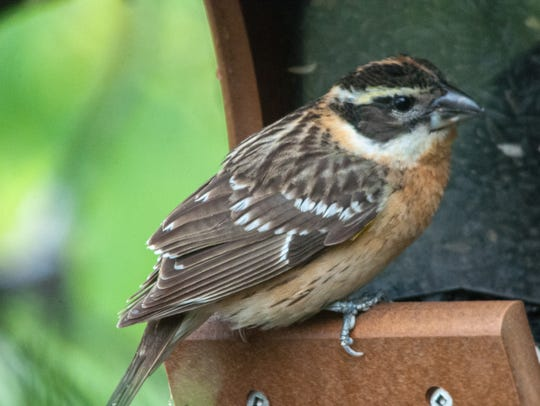 This female grosbeak uses her large bill to crack and