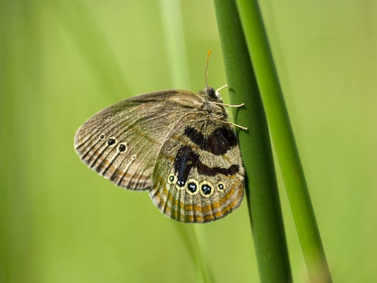 DSK229-05.jpg   Mitchell's Satyr Butterfly Survey