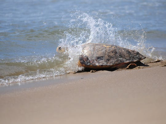 Canuck, a Loggerhead sea turtle, comes face to face with the ocean after several months of rehabilitation on Monday, June 25 in Ocean City.