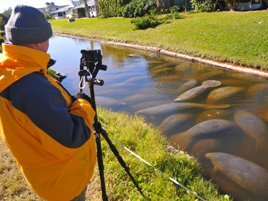 David Schrichte, owner of ManateePics.com, was busy taking photos of the manatees. People came to DeSoto Park in Satellite Beach Thursday morning to view the manatees huddled together. The manatees gather in the shallow canal to stay warm during cold spells.
