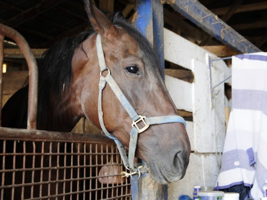 A horse peers out of its stall at the Croswell Fairgrounds.