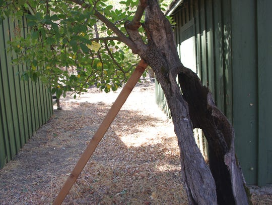 This apple tree, growing near the green sheds at the