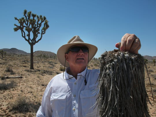 Ecologist Jim Cornett looks at a dead Joshua tree in the Queen Valley area of Joshua Tree National Park on May 13. Cornett has been studying Joshua trees in the park and elsewhere since 1988.