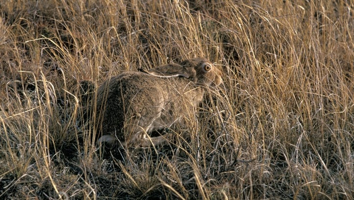 Montana's white-tailed jackrabbit changes its color