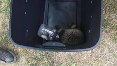 Raccoon with mayonnaise jar on head rescued by Ithaca Fire Department
