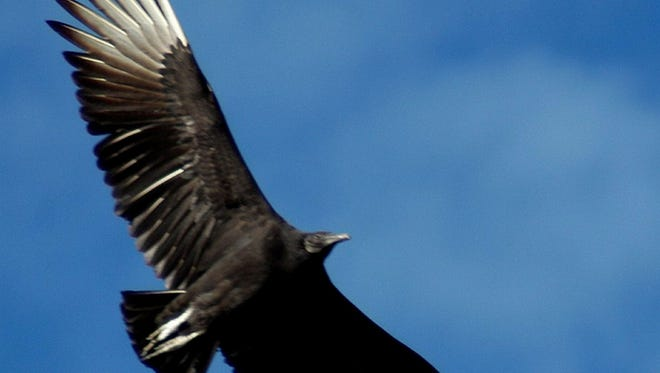 File: A black vulture flies off in search of food.