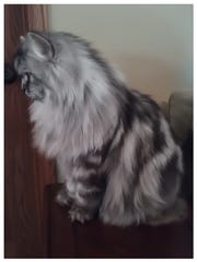 Moses is a 1-year-old British Longhair. He is from Spencer and is featured in Target's new pet food ad. The pattern on his back is rare for the breed.