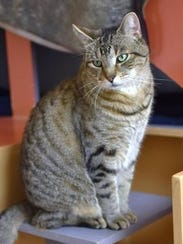 Dudley is the featured cat for this week at Tabby's