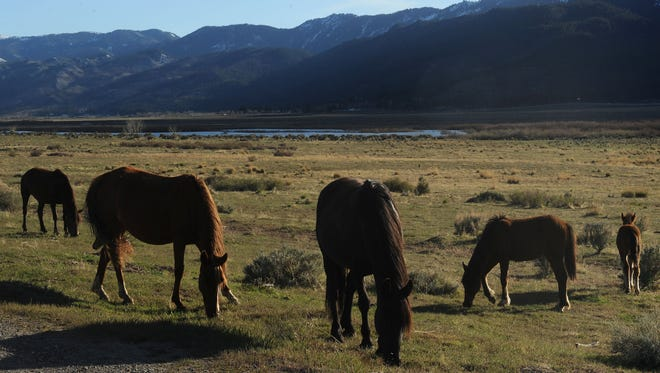 A herd of wild horses grazes in Northern Nevada.