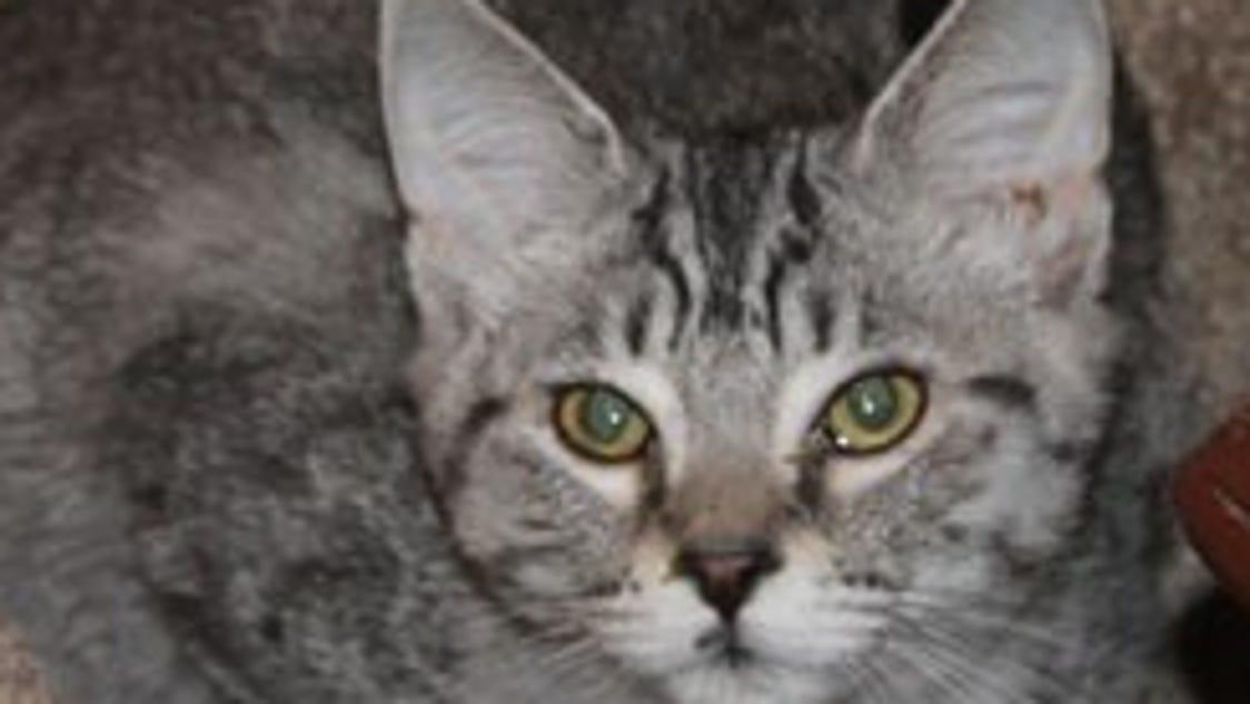 Salem Friends Of Felines Adoptable Cats