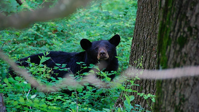 This photo released by Rob Woodward shows a curious bear lurks in lush greenery by the Elkwallow campground and picnic area at milepost 24 on Skyline Drive, May 30, 2009. Hikers using trails in this part of Shenandoah National Park often see black bears.