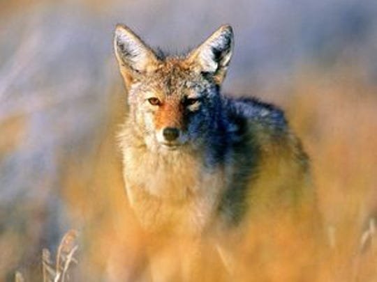 The Michigan Department of Natural Resources is trying to minimize conflict between people and coyotes.