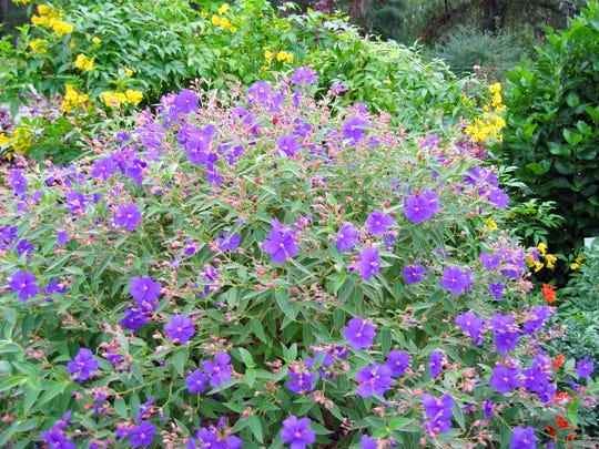 The perennial, Tibouchina, is at its peak in the fall. Plant it in full sun for the best flowering.