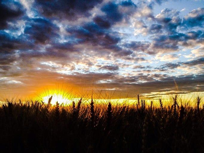 Harvest on the Hi-Line