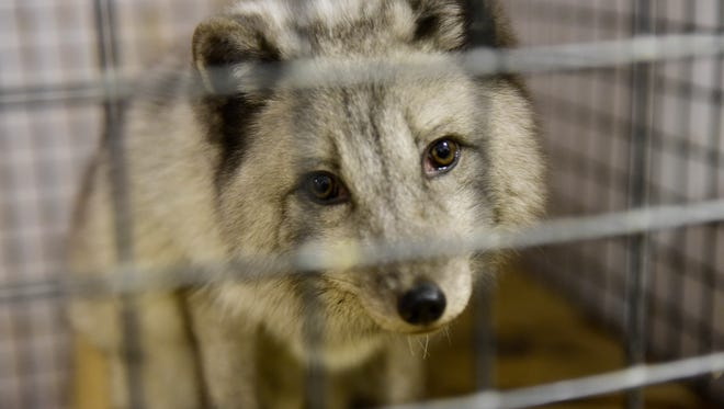 Back to the Wild in Castalia has an Arctic fox rescued by the Animal Protection League in the Cleveland area, and will become a permanent resident because arctic foxes are not native to this area.
