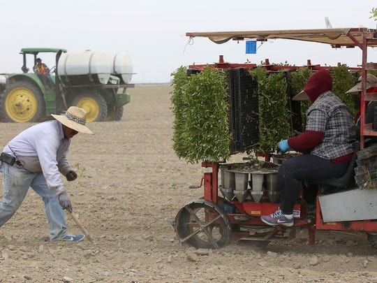 Workers plant tomatoes at Terranova Farms in Helm,