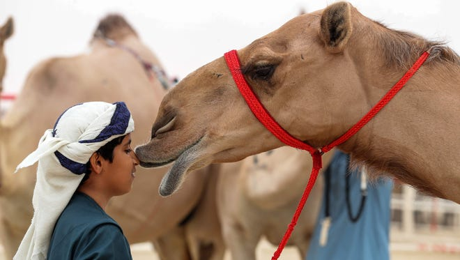 An Emirati child presses his face onto a camel's, during the Mazayin Dhafra Camel Festival in the desert near the city of Madinat Zayed on Dec. 23, 2017. The festival, which attracts participants from around the Gulf region, includes a camel beauty contest.