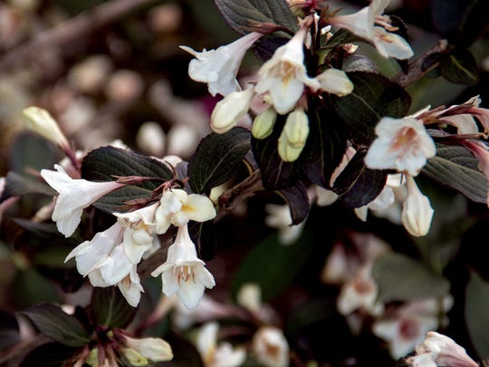Tuxedo weigela's color combo fits its name perfectly.