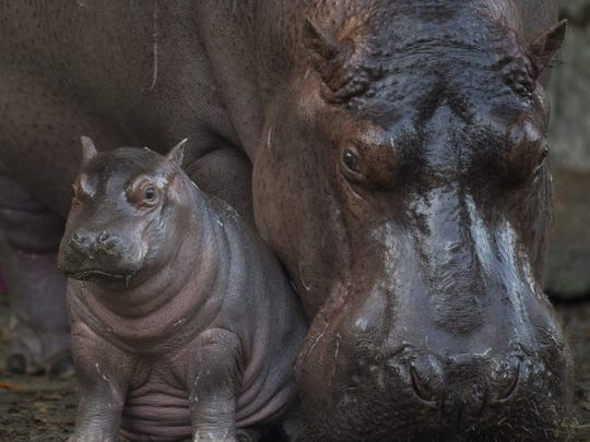 Augustus the hippo was born Jan. 13, 2018, at Animal Kingdom in Lake Buena Vista. He's shown Feb. 21 with his mom, Tuma, weighing 168 pounds.