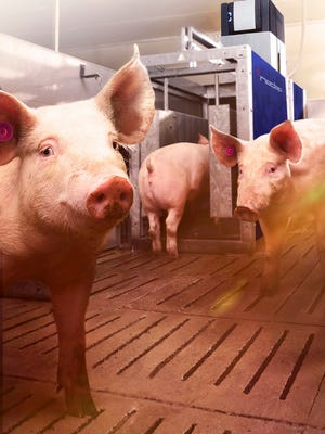 The North Carolina legislature overrode  Gov. Roy Cooper's veto of a bill that limits awards in lawsuits over the odors from hog and chicken farms.