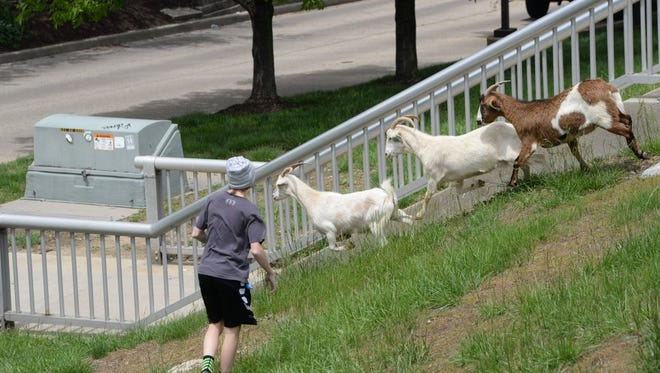Goats make a break for it during the inaugural Covington Running of the Goats event.