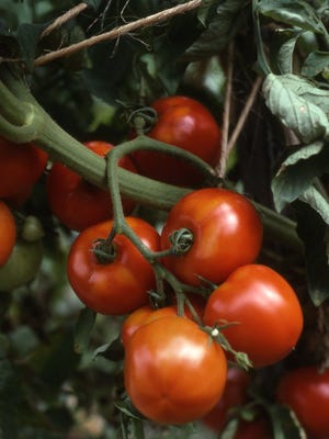 Growing tomatoes in a wire cage or staked keeps fruit clean, exposed to sun and up off the ground. Fruits are of top quality when grown this way.