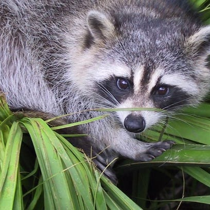 Brookfield resident spots hands and a head in a stream, but it turns out to be a dead raccoon
