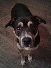 Patriot is a young, neutered, male shepherd mix. He