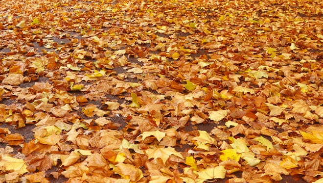 There is one way you can leave your leaves and have your lawn, too: Mulch them. Mulching leaves isn't only easier than raking — it's more environmentally sound. (Brett Critchley/Dreamstime/TNS)